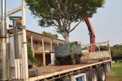 Topdeck Transport and Heavy Lift - Heavy lifting a fig tree